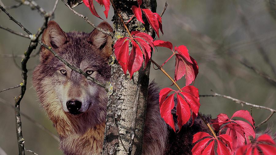 Autumn Wolf Photograph by Gordon Semmens