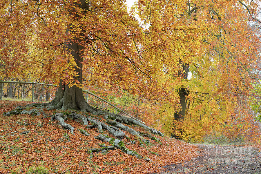 Autumn Photograph - Autumnal Beech Walk by Tim Gainey