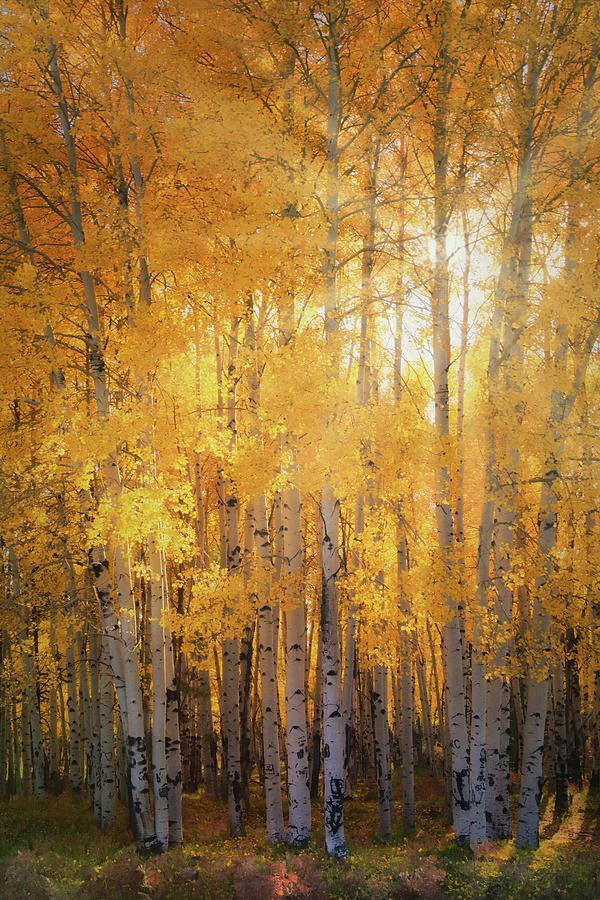 Aspen Grove Photograph - Autumns Golden Light  by Saija Lehtonen