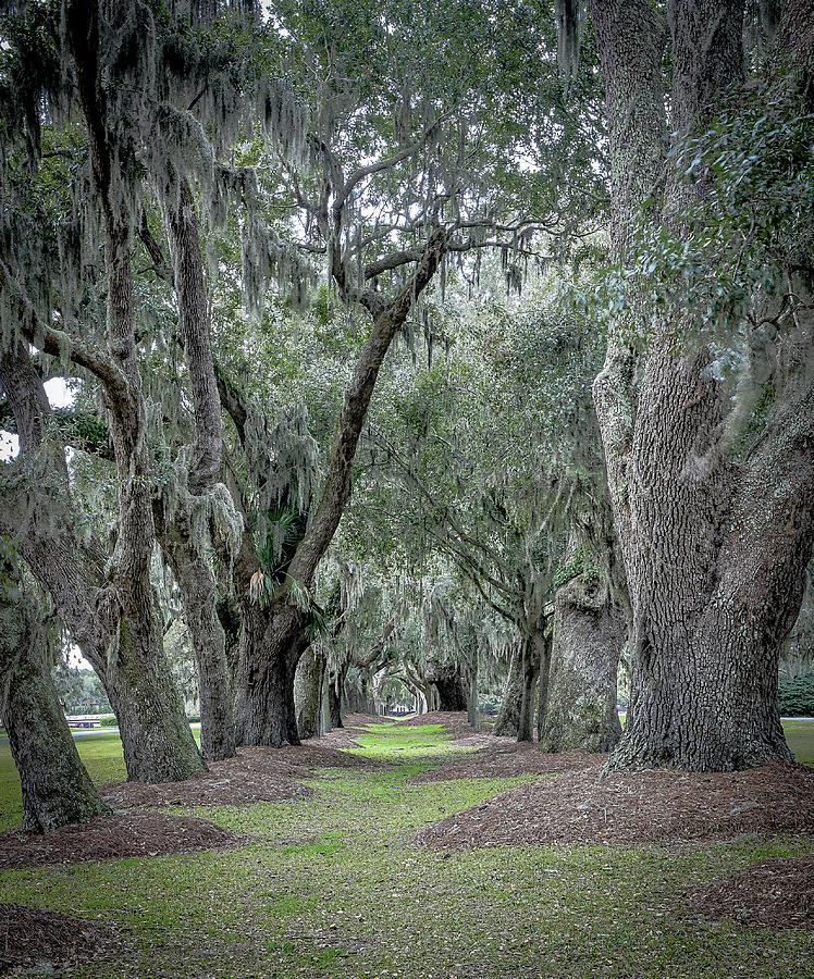 Avenue of Oaks by Kenny Nobles