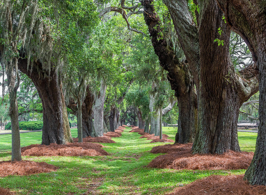Avenue of Oaks Over Grass by Darryl Brooks