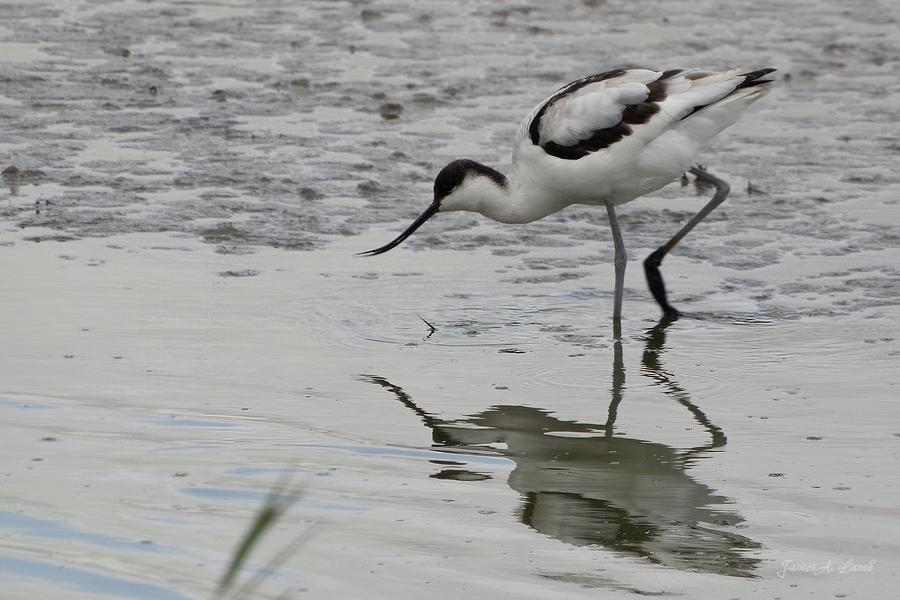 Avocet feeding by James Lamb