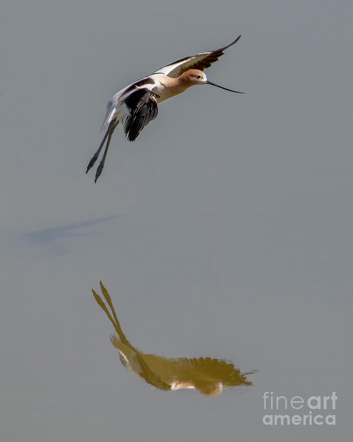 Avocet Reflected by Mike Dawson