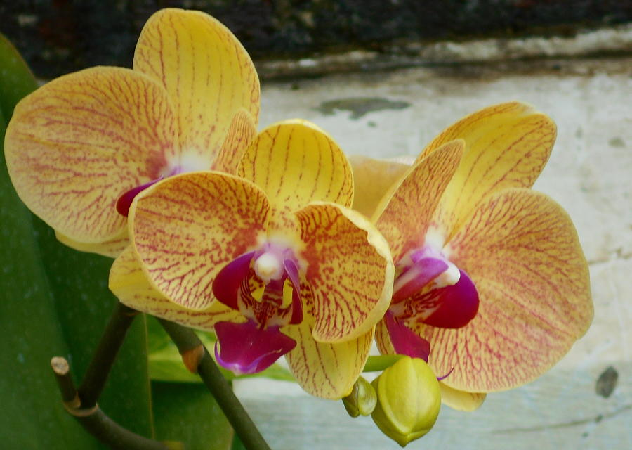 Awesome Orchid by Barbara Keith