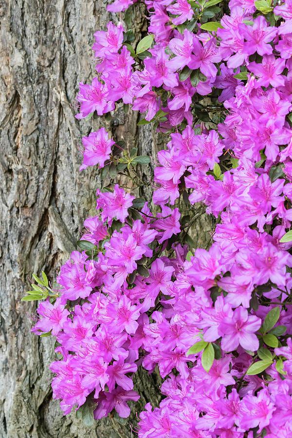 Azalea Photograph - Azalea Blooms by William Sutton