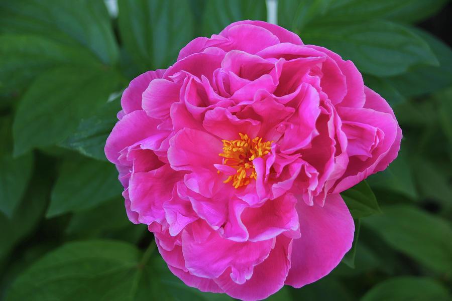 Azalea Blossom Photograph