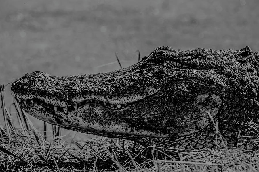 B and W Gator by Kevin Banker