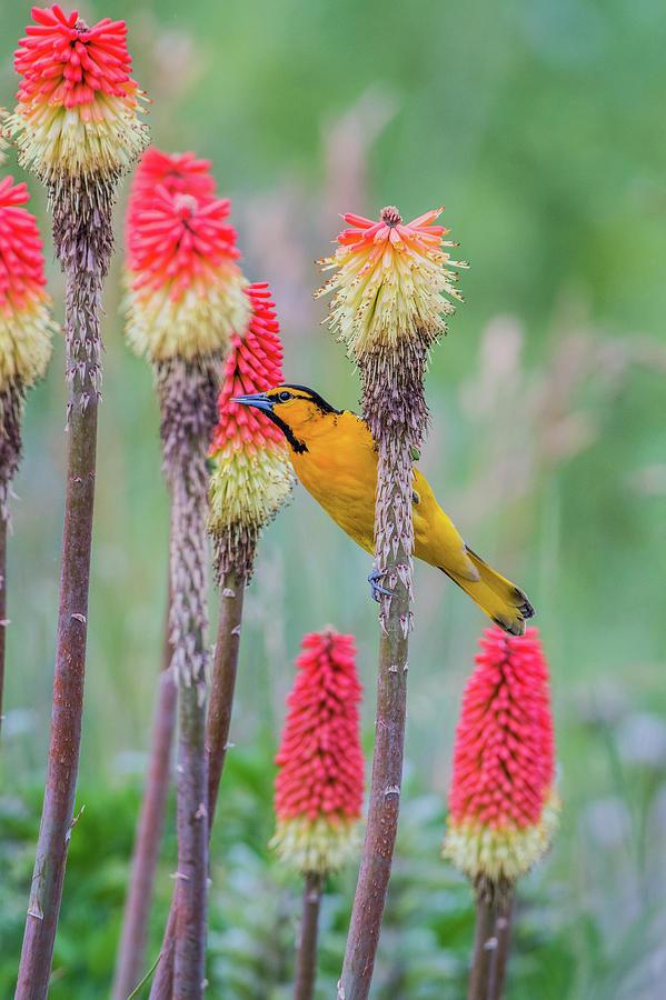 Avian Photograph - B59 by Joshua Ables Wildlife