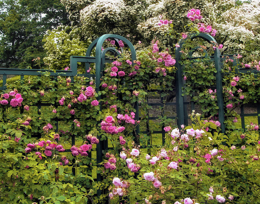 Roses Photograph - Climbing Rose Trellis by Jessica Jenney