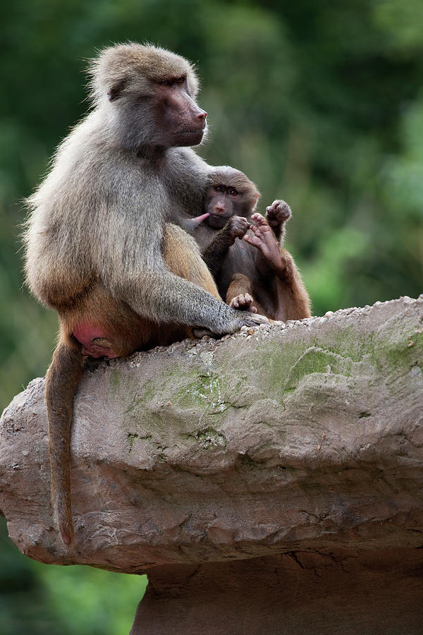 Baboon Photograph by Andrew Dernie