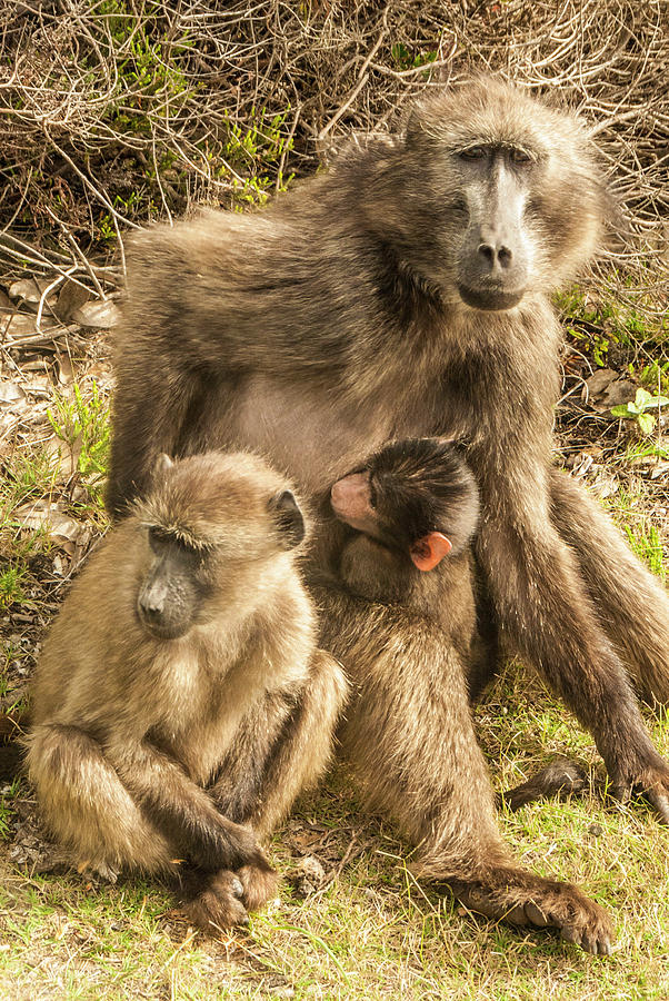 Baboon Family by Paul Croll