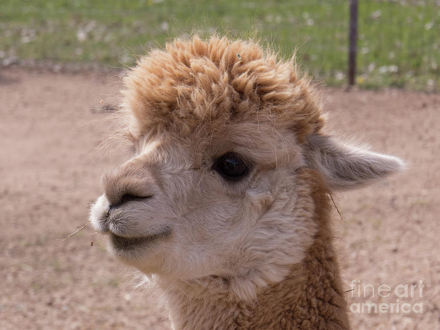 Baby Alpaca With a Sweet Face by Christy Garavetto