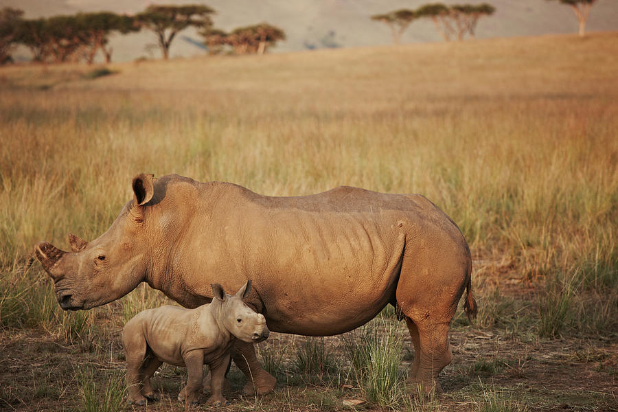 Baby And Mummy Rhino Photograph by Niels Busch