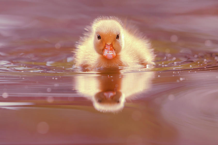 Duckling Photograph - Baby Animal Series - Baby Duckling by Roeselien Raimond