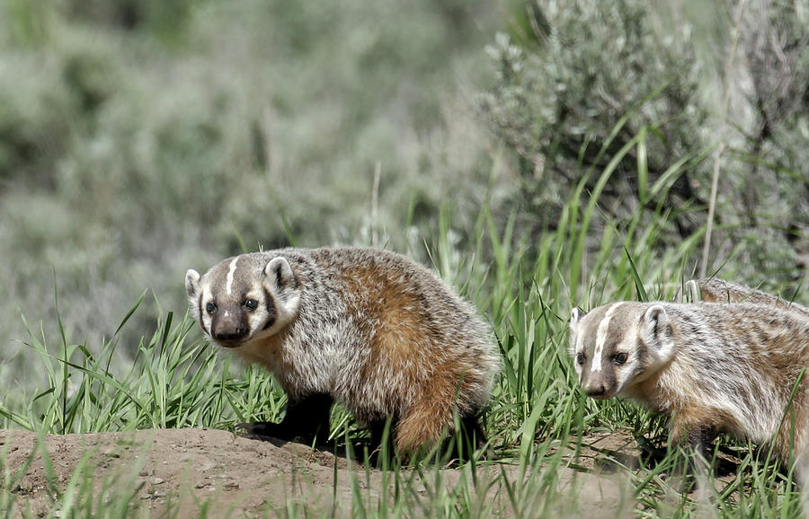 Baby Badgers by Ronnie and Frances Howard