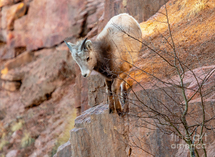 Baby Bighorn Playing On The Rocks Photograph