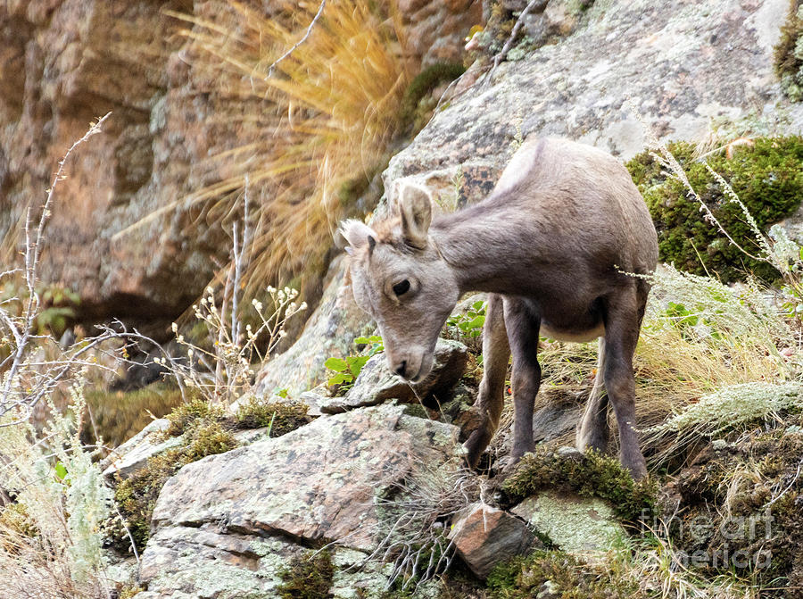 Baby Bighorn Sheep Frolicking In Waterton Canyon by Steve Krull