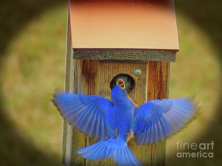 Baby Bluebird Feeding Time by Sue Melvin