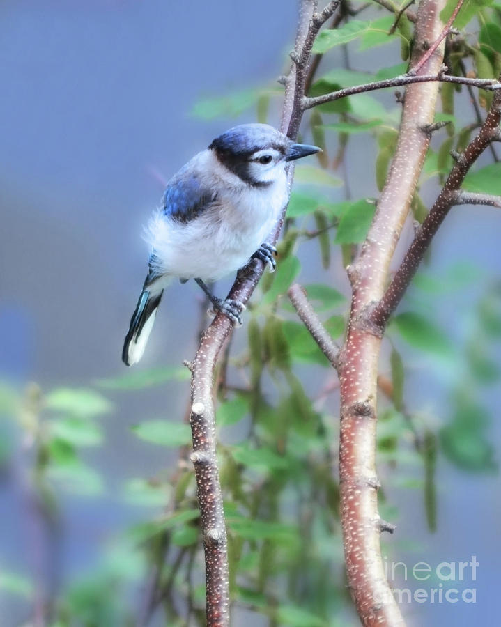 Baby Bluejay  by Elaine Manley