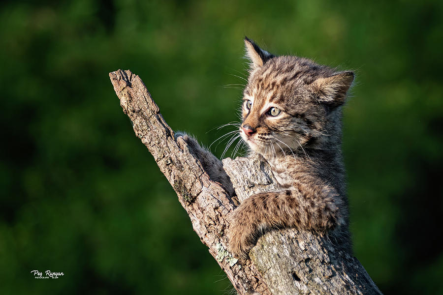 Baby Bobcat by Peg Runyan
