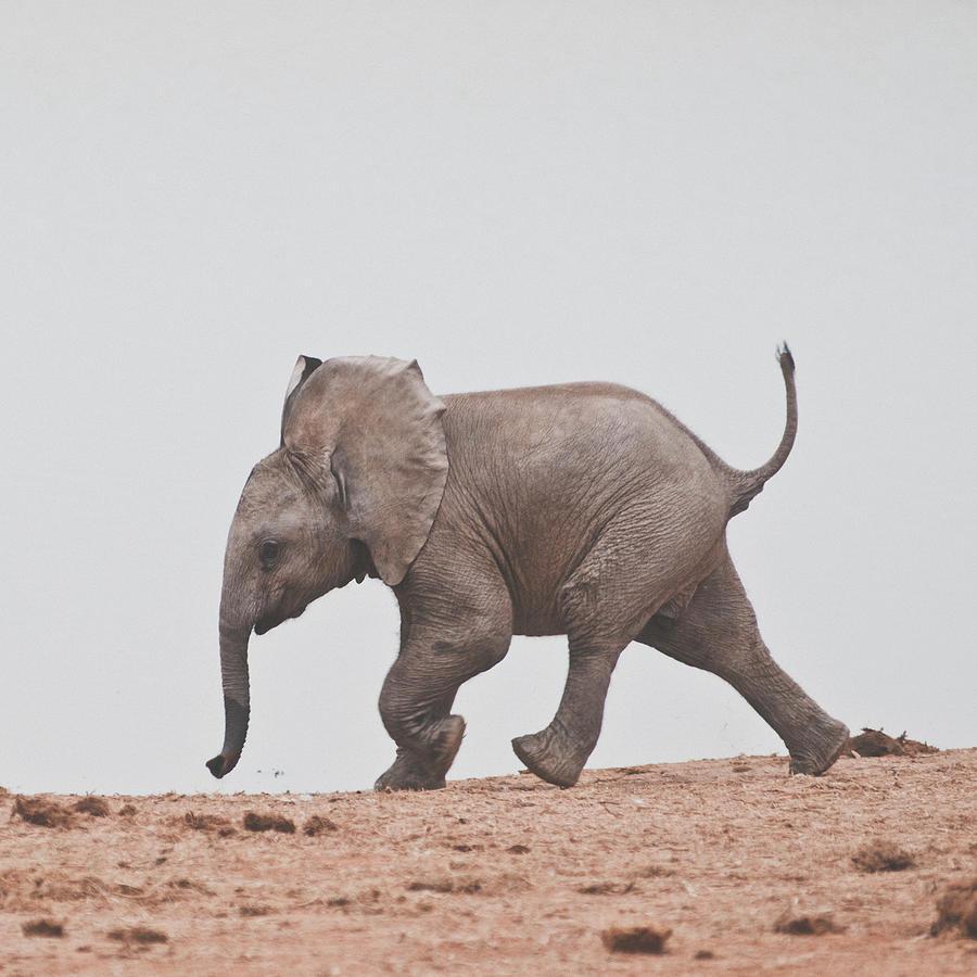 Baby Elephant Photograph by Shaun