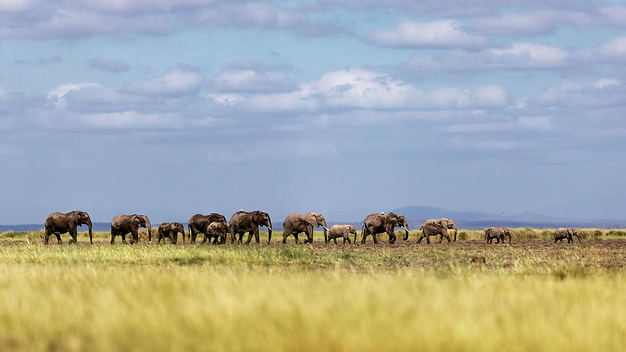 Baby Elephants Leading Herd in Line in Kenya by Susan Schmitz