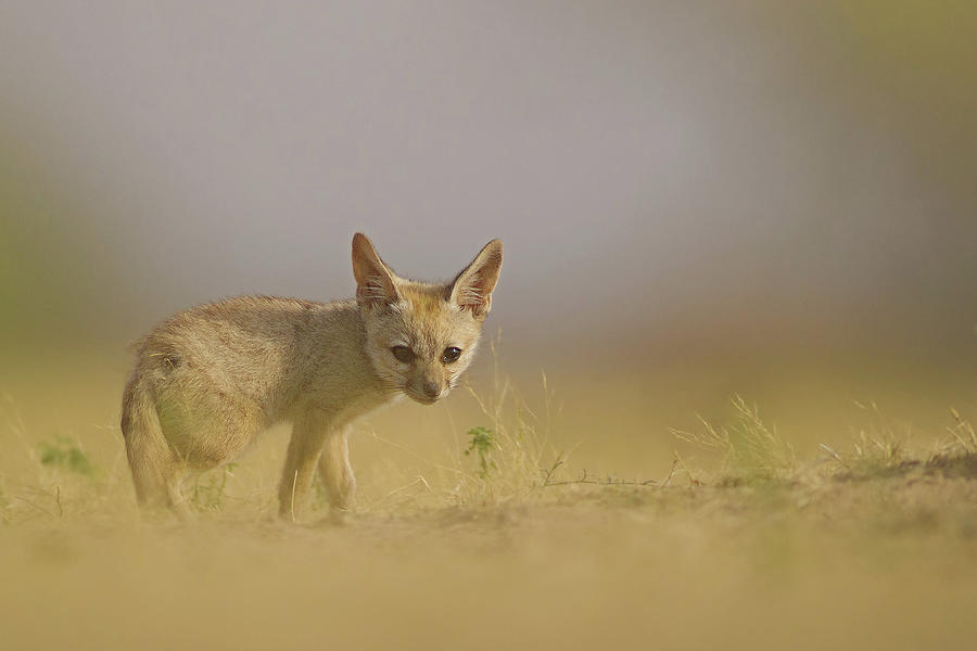 Baby Fox Photograph by Santanu Nandy