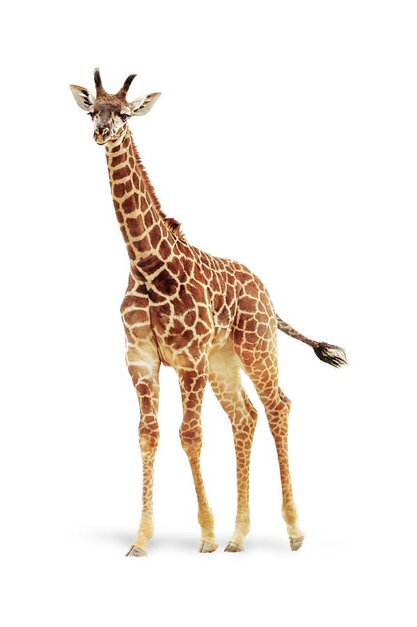 Baby Giraffe Named Moshi by Susan Schmitz