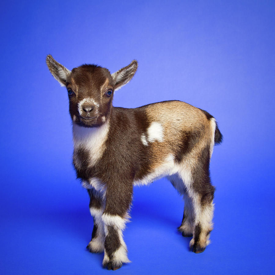 Baby Goat Photograph by Square Dog Photography