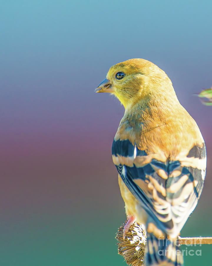 Baby Goldfinch With Colorful Background Photograph by ...