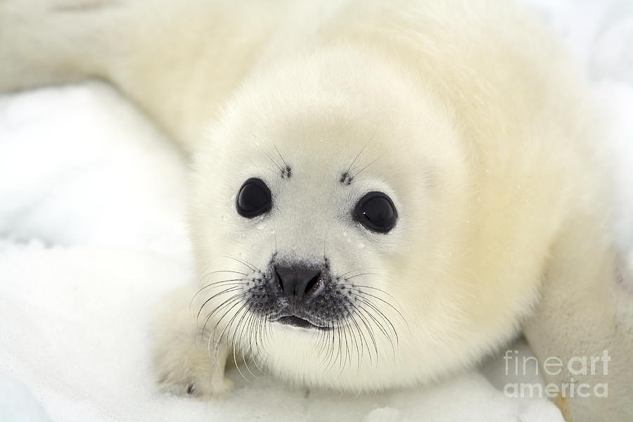 Fur Photograph - Baby Harp Seal Pup On Ice Of The White by Vladimir Melnik