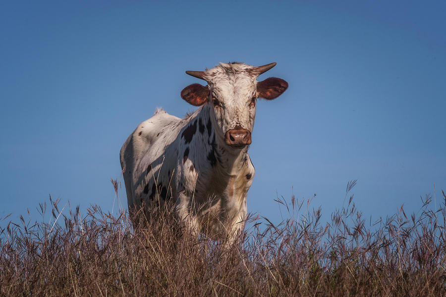 Longhorn Photograph - Baby In The Bush by Pamela Steege