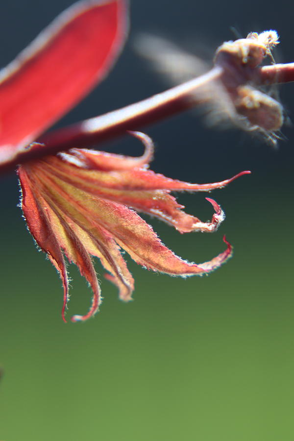 Baby Japanese Maple by TJ Fox