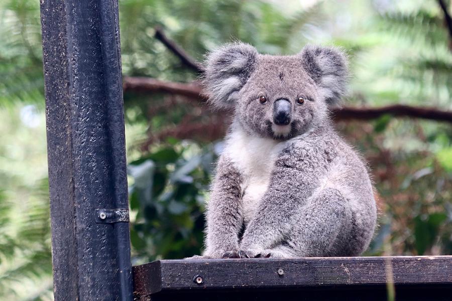 Baby Koala by Sarah Lilja
