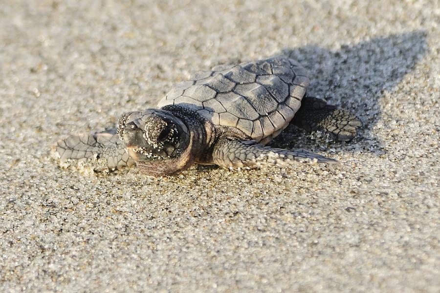 Baby Loggerhead Sea Turtle by Bradford Martin