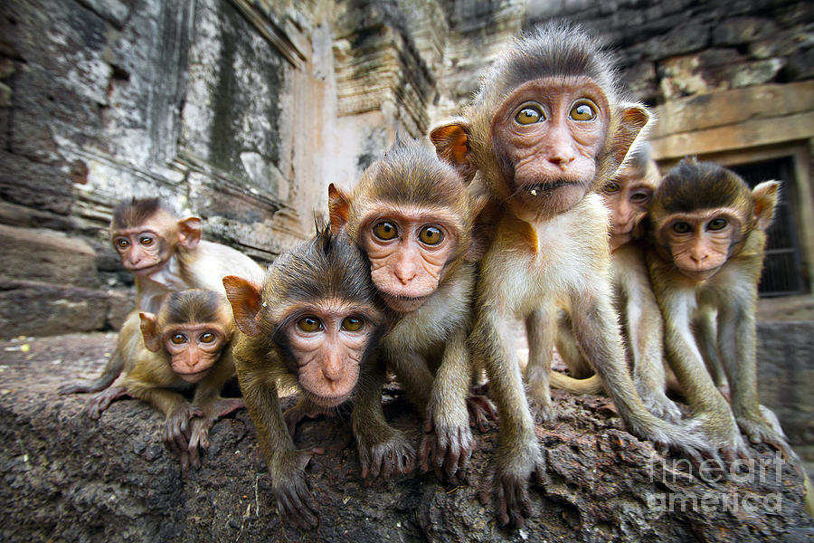 Cluster Photograph - Baby Monkeys Are Curious,lopburi by Jeep2499