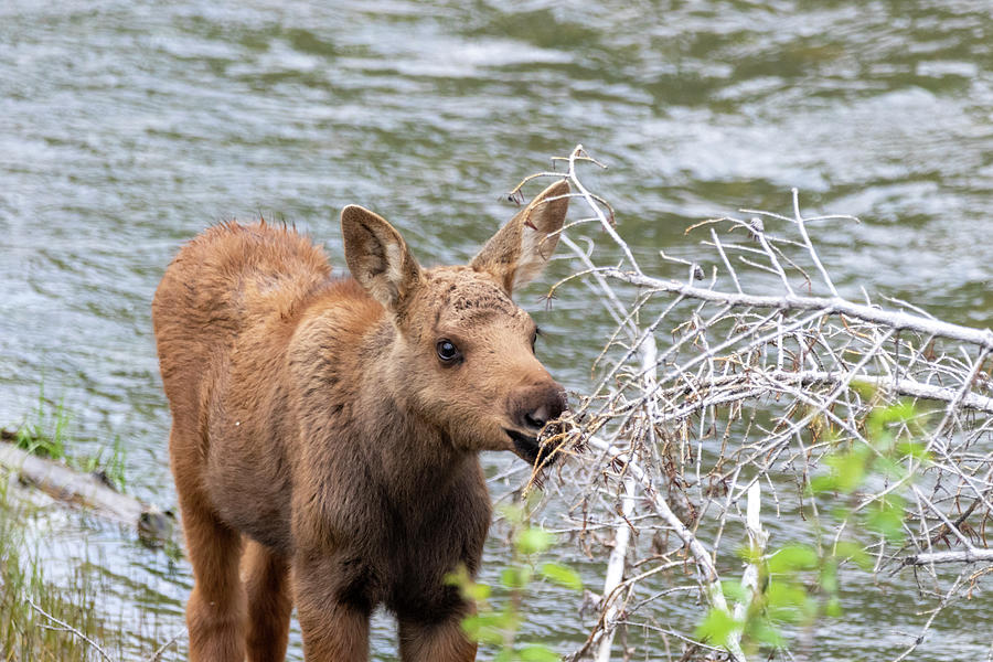 Baby Moose by Michael Chatt