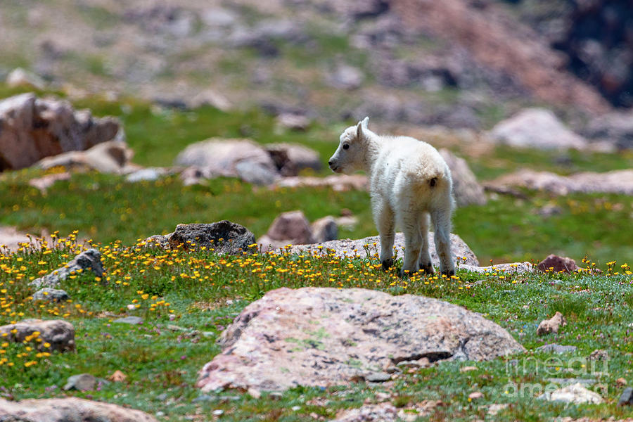 Baby Mountain Goat and Wildflowers by Steve Krull