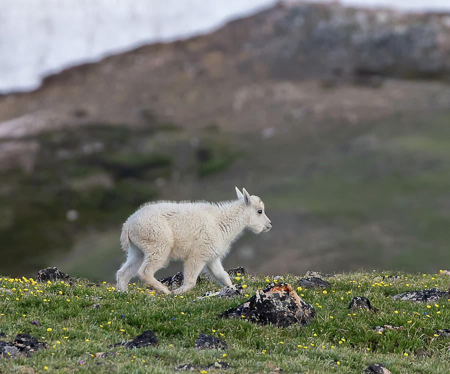 Baby Mountain Goat by Gary Beeler