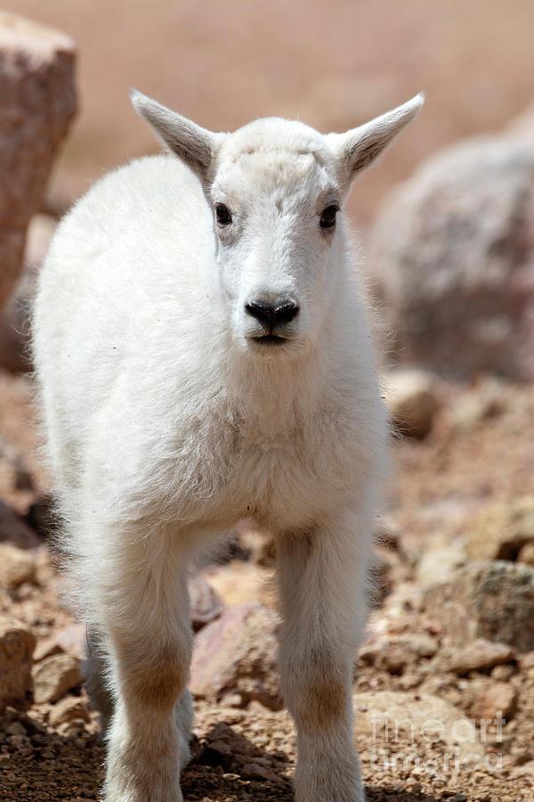 Baby Mountain Goat Photograph