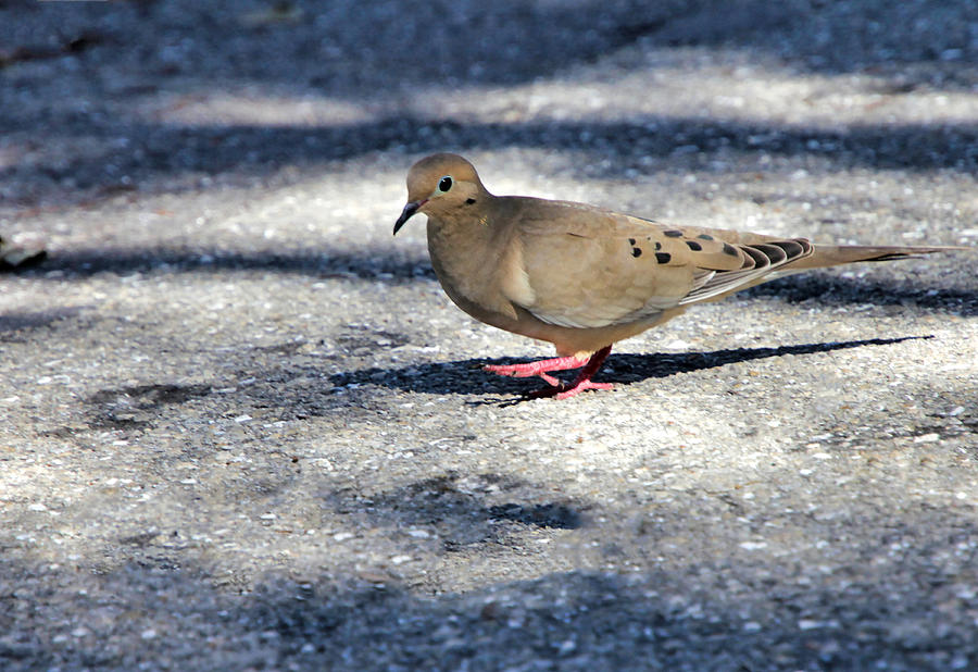 Mourning Dove Photograph - Baby Mourning Dove by Rosalie Scanlon
