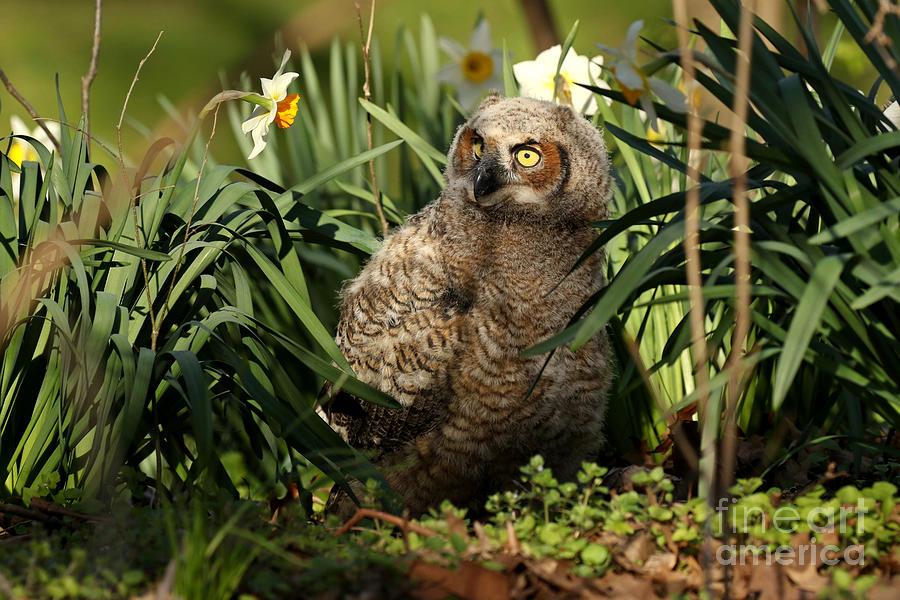 Baby Owl Enjoys Daffodils Photograph