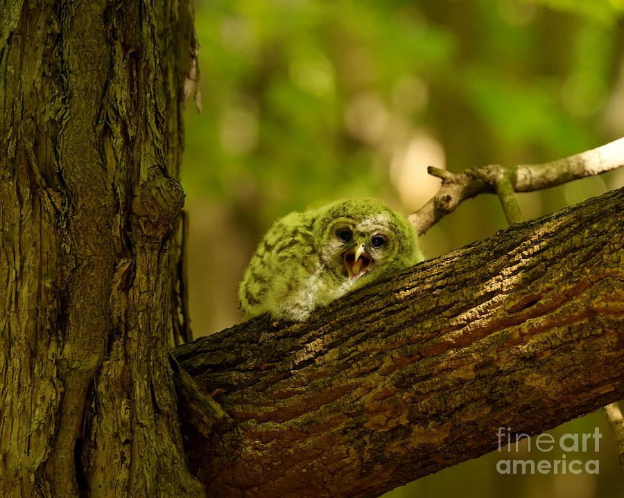 Baby Owl Yawn Photograph