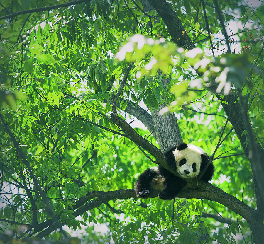 Baby Panda Resting On A Tree Photograph by Mediaproduction