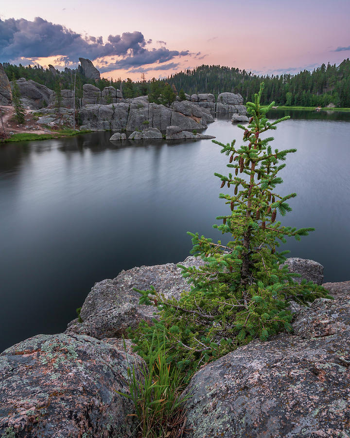 Baby Pine at Sylvan Lake by Adam Romanowicz