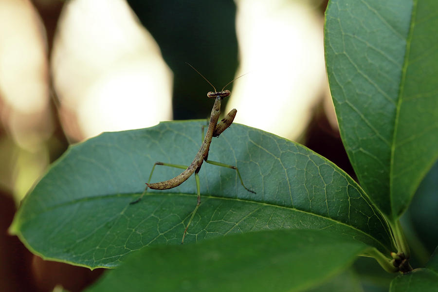 Baby Praying Mantis Photograph By Stamp City