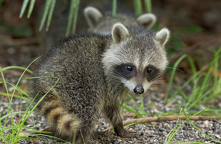 Baby Raccoon by Deborah Benoit