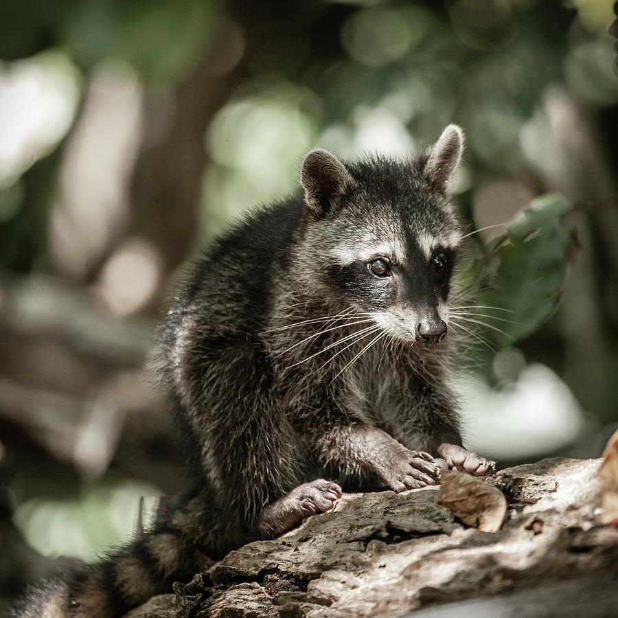 Baby Racoon In The Wild Photograph