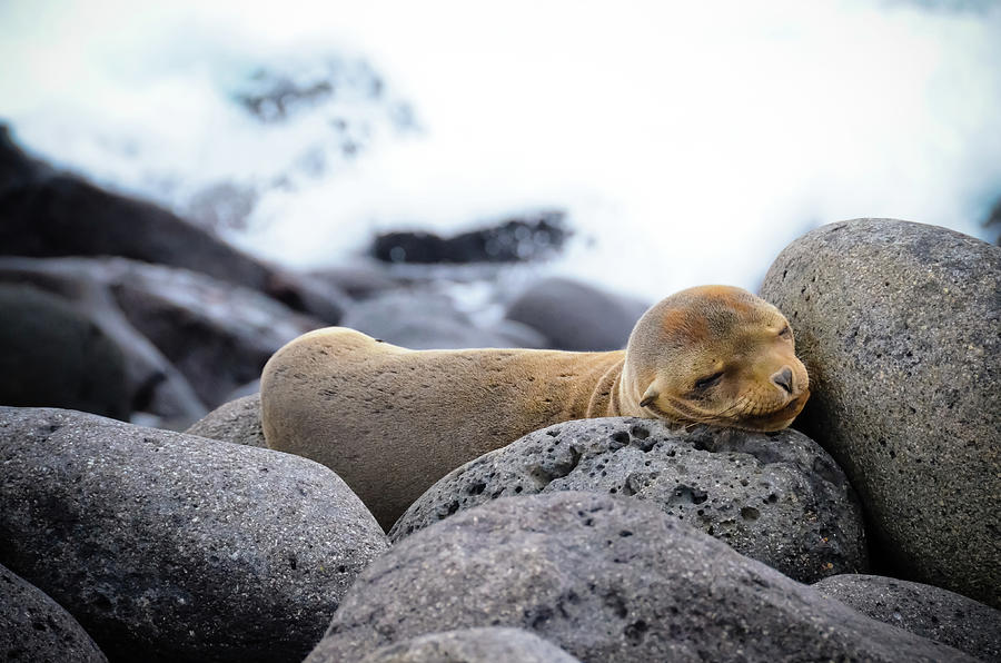 Baby Sea Lion Sleeping On The Rocks Photograph by Volanthevist