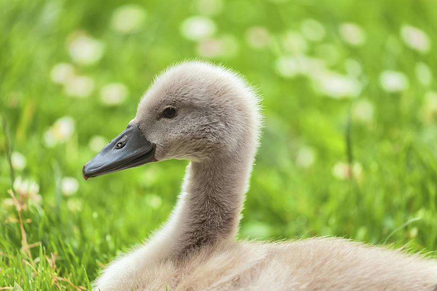 baby swan by Jonathan Nguyen